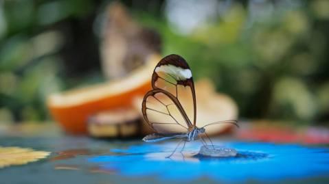 glasswingedbutterflygretaoto