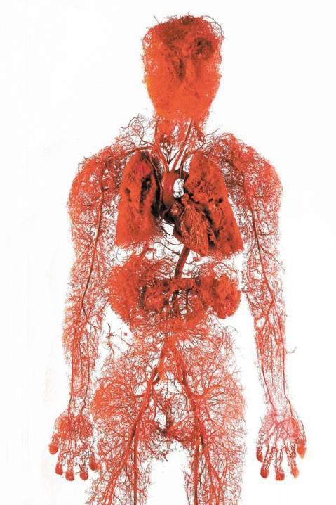 bloodvesselshuman