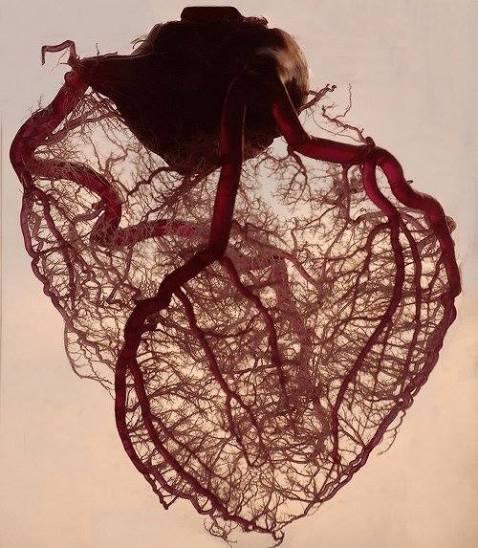 bloodvesselshumanheart