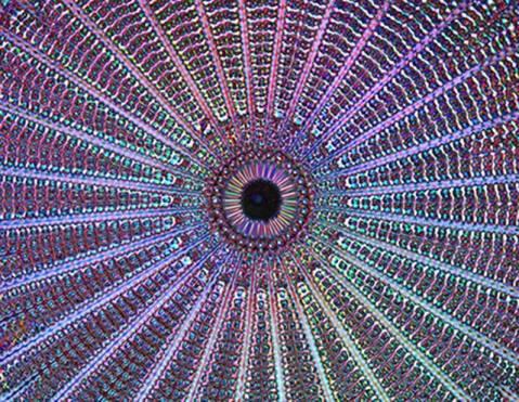dazzling diatom