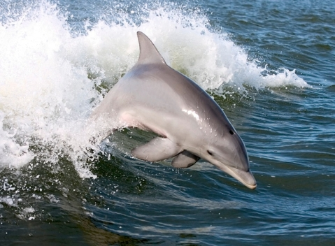 dolphin_freed.jpg.662x0_q100_crop-scale