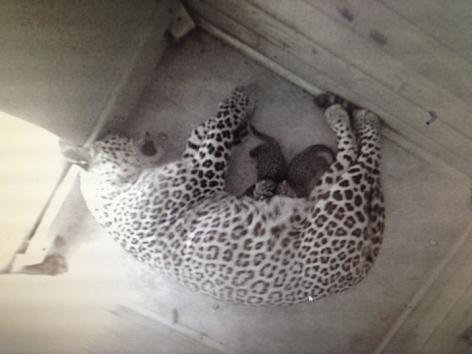 First-Persian-leopard-cubs-in-50-years-born-in-Russian-breeding-center