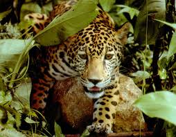jaguarsgethigh