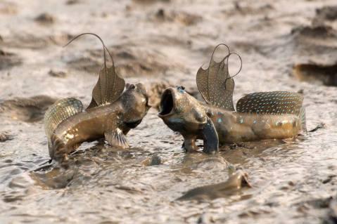 mudskipperfish