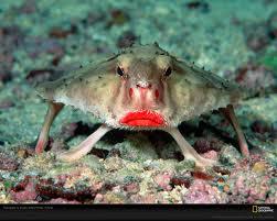 redlippedbatfish