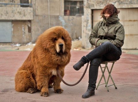 dog or lion-Chinese zoo