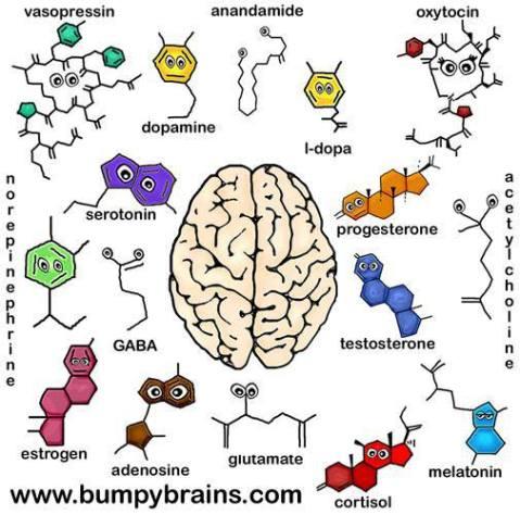 hormones brain