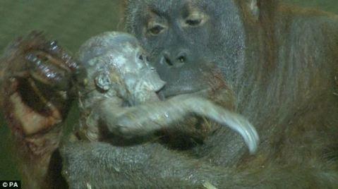 orangutan birth