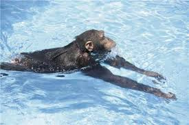 swimming apes