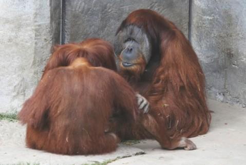 orangutans-617x416