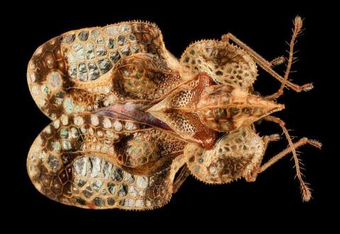 unknown lace bug